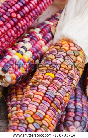 Close up shot of a freshly plucked Indian corn in soft focus - stock photo