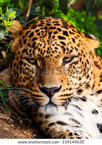Close-up shot of a gorgeous leopardess - stock photo