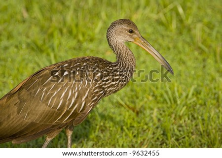 Close up shot of a Limpkin