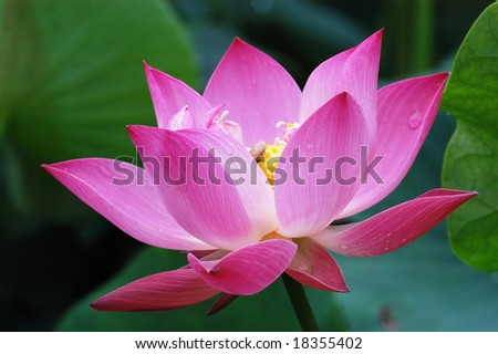 Close-up shot of a lotus bloom - stock photo