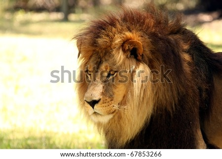 Close-up Shot of a Male Lion