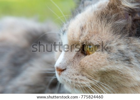 Close-up shot of a Norwegian forest cat