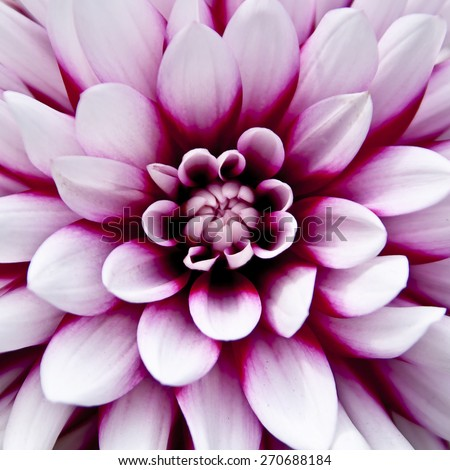 Close up shot of a pink dahlia flower - stock photo