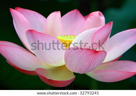 close up shot of a pink lotus flower in blossom
