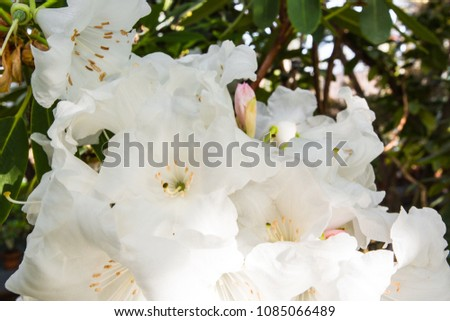 Close shot rhododendron blooming bush plant stock photo royalty close up shot of a rhododendron blooming bush plant beautiful big white flowers mightylinksfo
