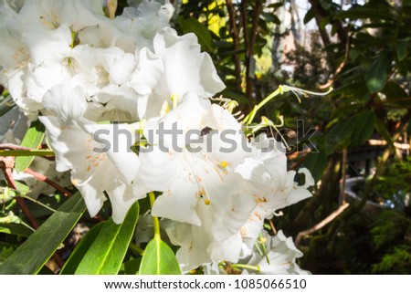 Close shot rhododendron blooming bush plant stock photo download close up shot of a rhododendron blooming bush plant beautiful big white flowers mightylinksfo