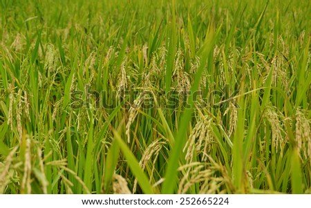 Close up shot of a rice field showing almost ripe grains - stock photo