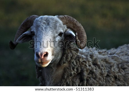 Close up shot of a sheep in the fields. - stock photo