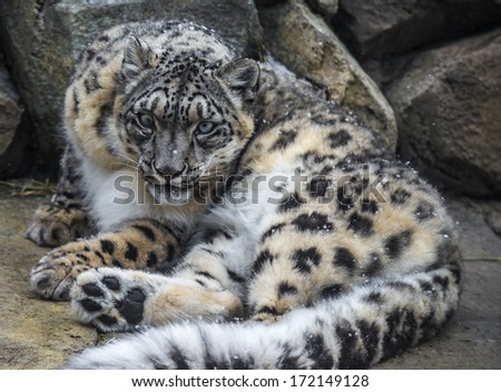 Close-up shot of a snow leopard - Panthera uncia on a snowy day