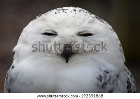 Close up shot of a snowy Owl - stock photo
