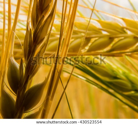 close up shot of an ear of wheat - stock photo