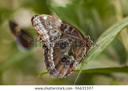 Close-up shot of an owl butterfly. - stock photo