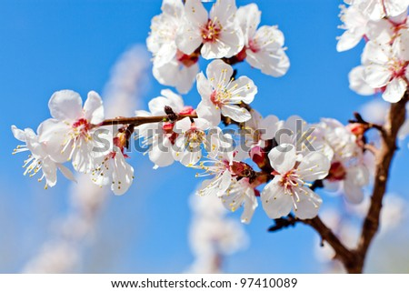 close-up shot of apricot blooming - stock photo