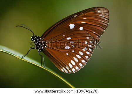 Close up shot of beautiful brown butterfly on green background - stock photo