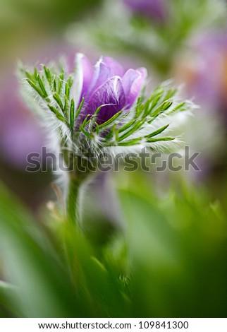Close up shot of beautiful purple flower - shallow DOF - stock photo