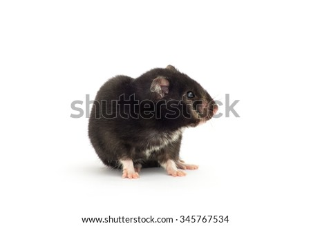 close up shot of black hamster isolated on white - stock photo