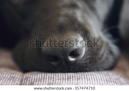 close-up shot of black labrador dog nose - stock photo