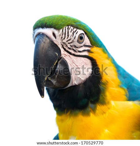 close up shot of blue and gold macaw isolated on a white background, focus on eye