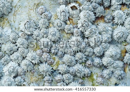 Close up shot of Dead Barnacles on a Rock - stock photo