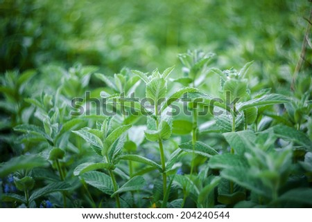 Close up shot of fresh mint leaves, low dof - stock photo