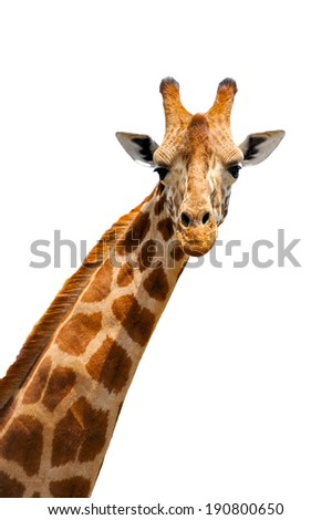 Close up shot of giraffe head isolated on white background - stock photo