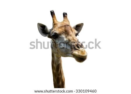 Close up shot of giraffe head on white background. - stock photo