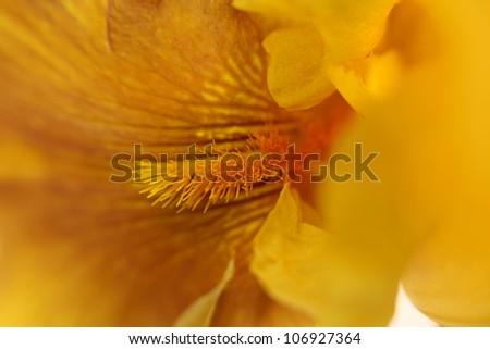 close up shot of Iris flower details - stock photo