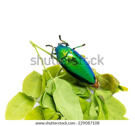 close up shot of jewel beetle insect - stock photo
