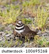 Close up shot of Killdeer bird at nesting time and defending its young with aggressive dance - stock photo