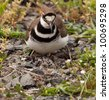 Close up shot of Killdeer bird at nesting time sitting with chicks and eggs on nest - stock photo