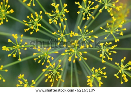Close up shot of Lady's mantle flower background - stock photo