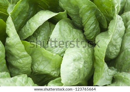Close-up shot of lettuce leaves, the curly edge macro