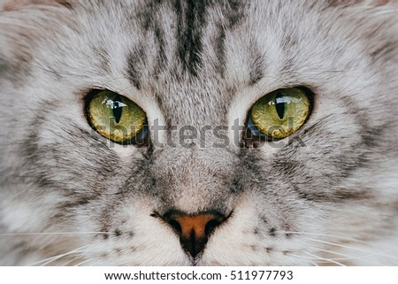 Close up shot of Maine Coon cat showing its eyes staring at the center of picture.