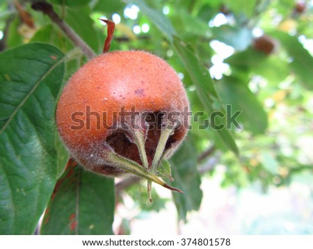 Close up shot of medlar fruit in a tree. - stock photo