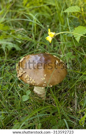Close-up shot of mushroom. Brown cap boletus in the forest