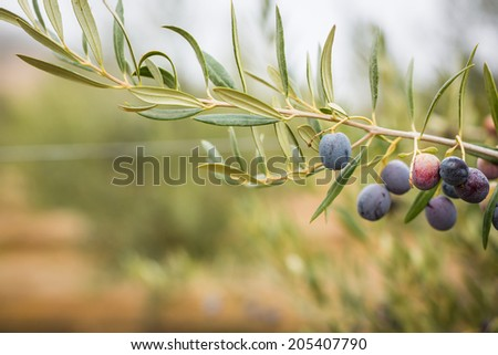Close up shot of olives hanging on an olive branch on an overcast day in Paso Robles - stock photo