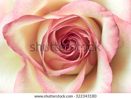 Close up shot of pink rose - stock photo
