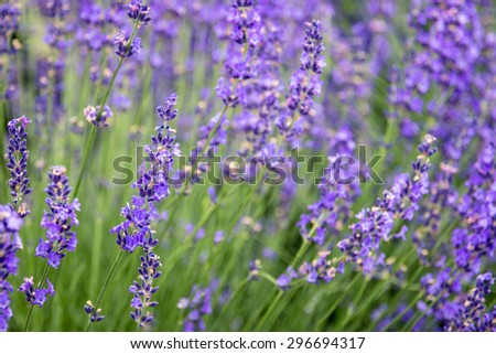 Close Up Shot of Purple Lavender Flowers in Full Bloom