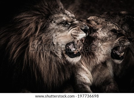 Close-up shot of roaring lion and lioness  - stock photo