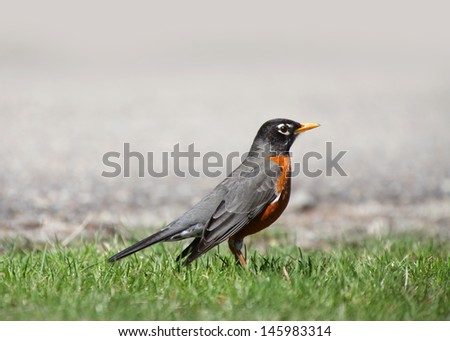 Close up shot of Robin bird in the grass