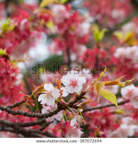 close up shot of sakura flowers, cherry blossom in early spring with shallow depth of field - stock photo