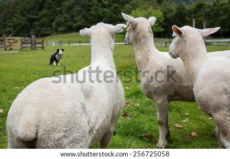 Close up shot of Sheep on green grass and blue sky in New Zealand - stock photo