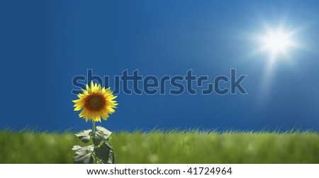 close up shot of sunflower with clear sky