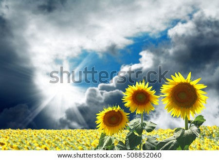 close up shot of sunflowers and blue sky
