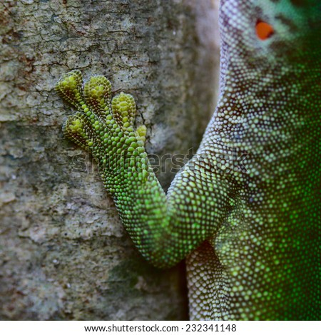 Close up shot of the gecko on tree's trunk. Madagascar - stock photo
