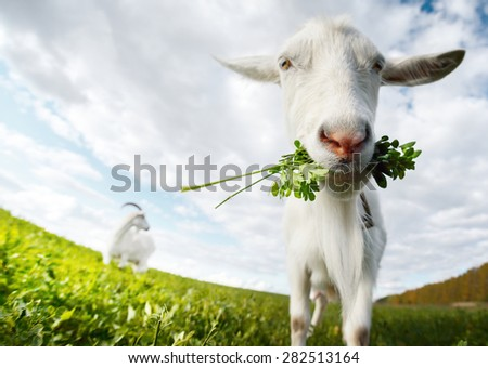 Close up shot of the goat with bunch of green lush grass on the summer meadow - stock photo