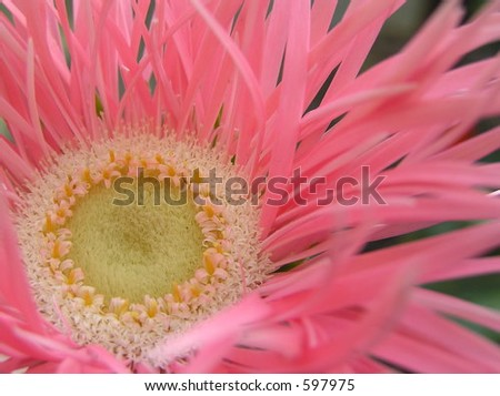 close up shot of the heart of a very wonderful pink gerbera daisy