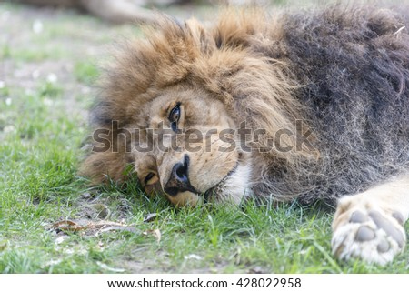 Close-up shot of the resting  lion, male