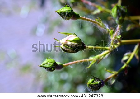 close up shot of three white rose buds in summer - stock photo