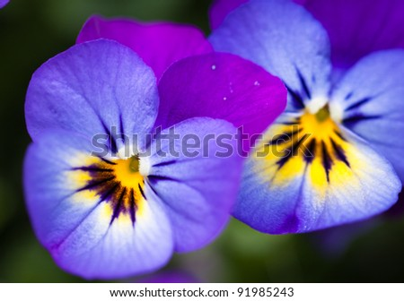 Close-up shot of two beautiful violet purple pansy flowers - stock photo